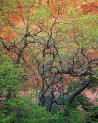 Gambel Oaks & Wall Escalante Wilderness, Utah