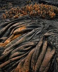 Lava & Cactus, Punta Espinosa, Fernandina Island; Galápagos Islands, Ecuador