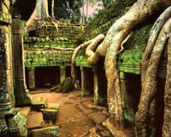 Spongs and Roots, Central Court, Ta Prohm; Angkor, Cambodia
