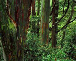 Rainbow Eucalyptus & Ardisia Maui, Hawaii